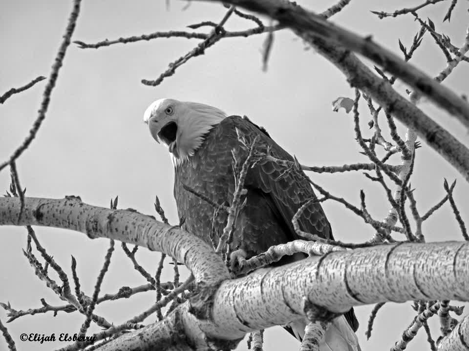 Bald Eagle yawning🦅. #ejimoo #alfred #birdwatching #foryou #idaholifestyle