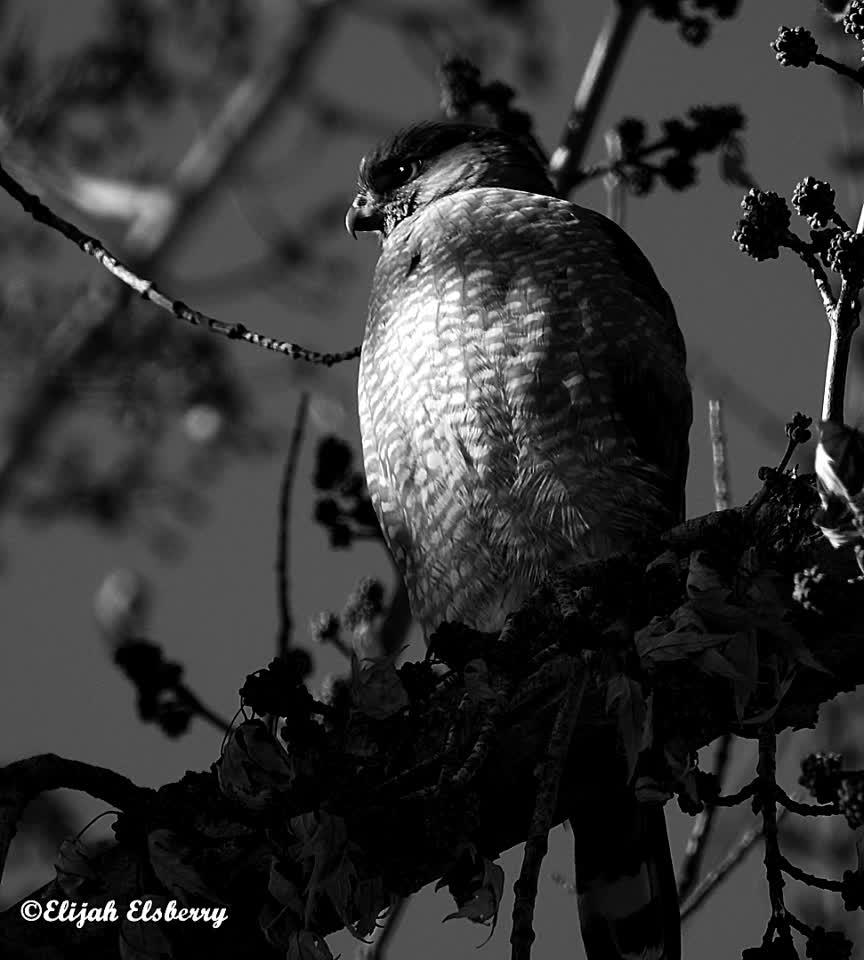 Sharp-shinned hawk. #ejimoo #alfred #birdwatching #foryou #idaholifestyle