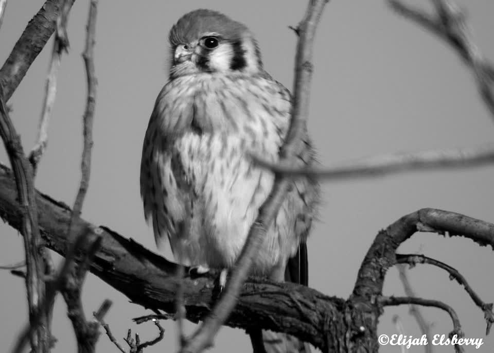 American kestrel. #ejimoo #alfred #birdwatching #foryou #idaholifestyle