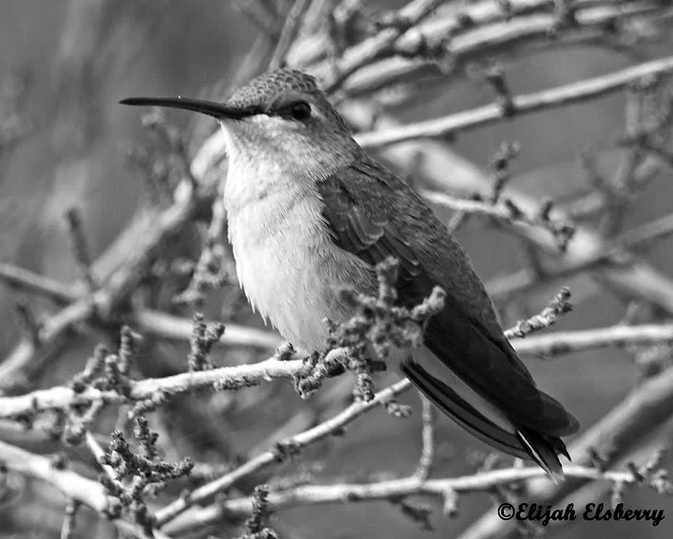 Black-chinned Hummingbird. #alfred #unify #idahobirds